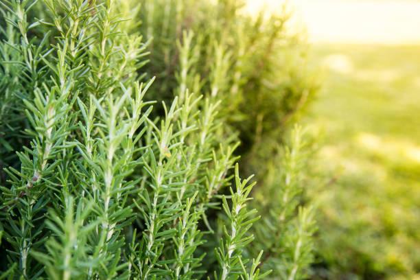 verse rosemary herb groeien buiten. rosemary kruidentuin - rozemarijn stockfoto's en -beelden