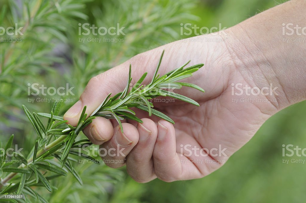 Fresh Rosemary royalty-free stock photo