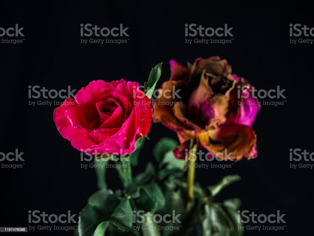 Fresh roses and dried roses on dark background, Roses wither and...