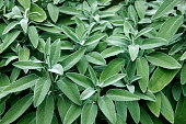 Fresh sage in the herb garden