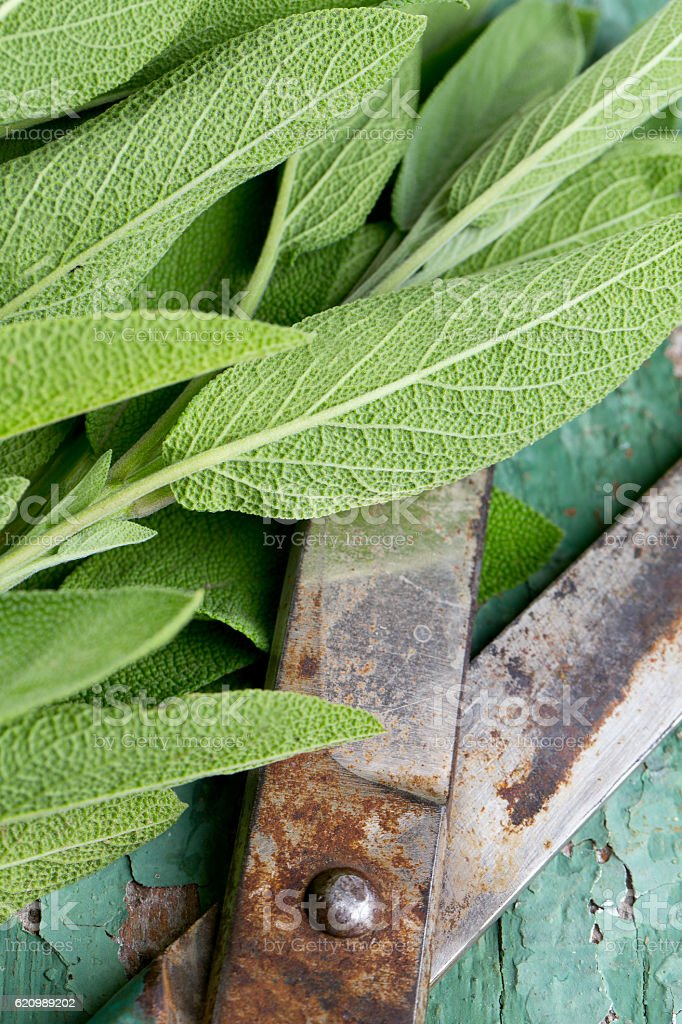 fresh sage on wooden surface foto royalty-free