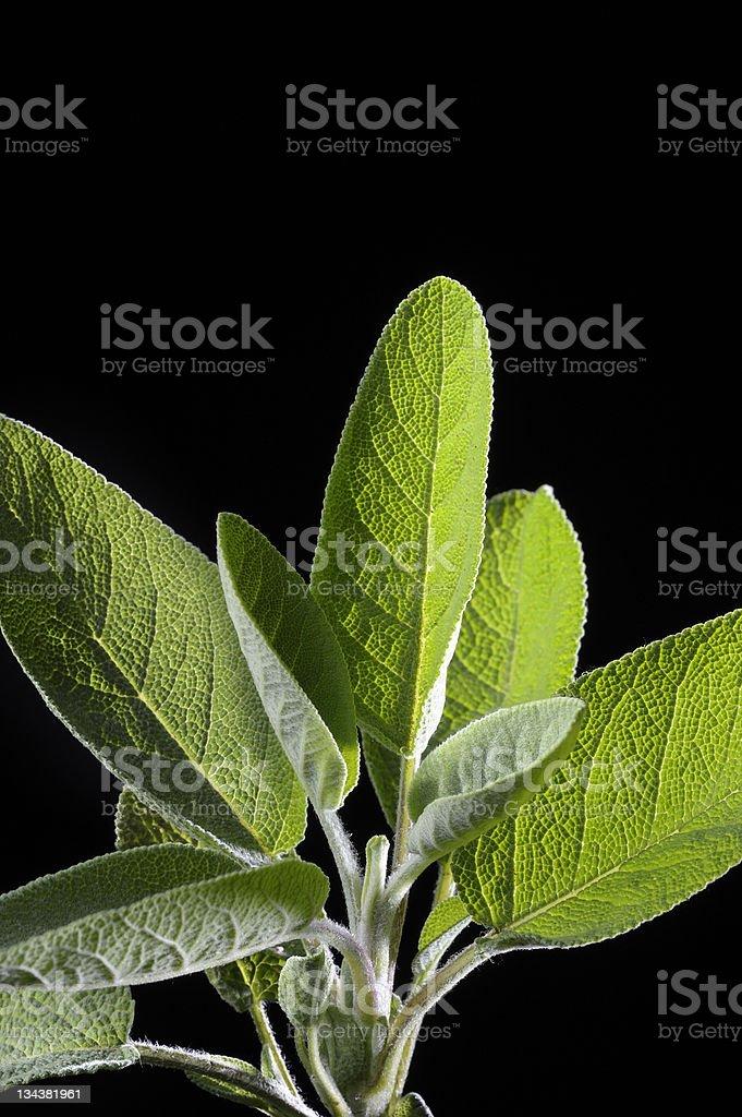 fresh sage royalty-free stock photo
