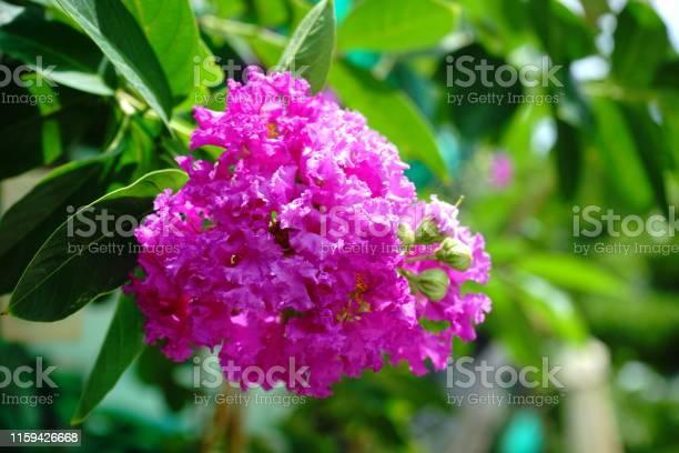 Fresh salao flower picture id1159426668?b=1&k=6&m=1159426668&s=612x612&h=4mwosvdi zu55anqodyj83jalbzcbh3gqkm0q gmvps=