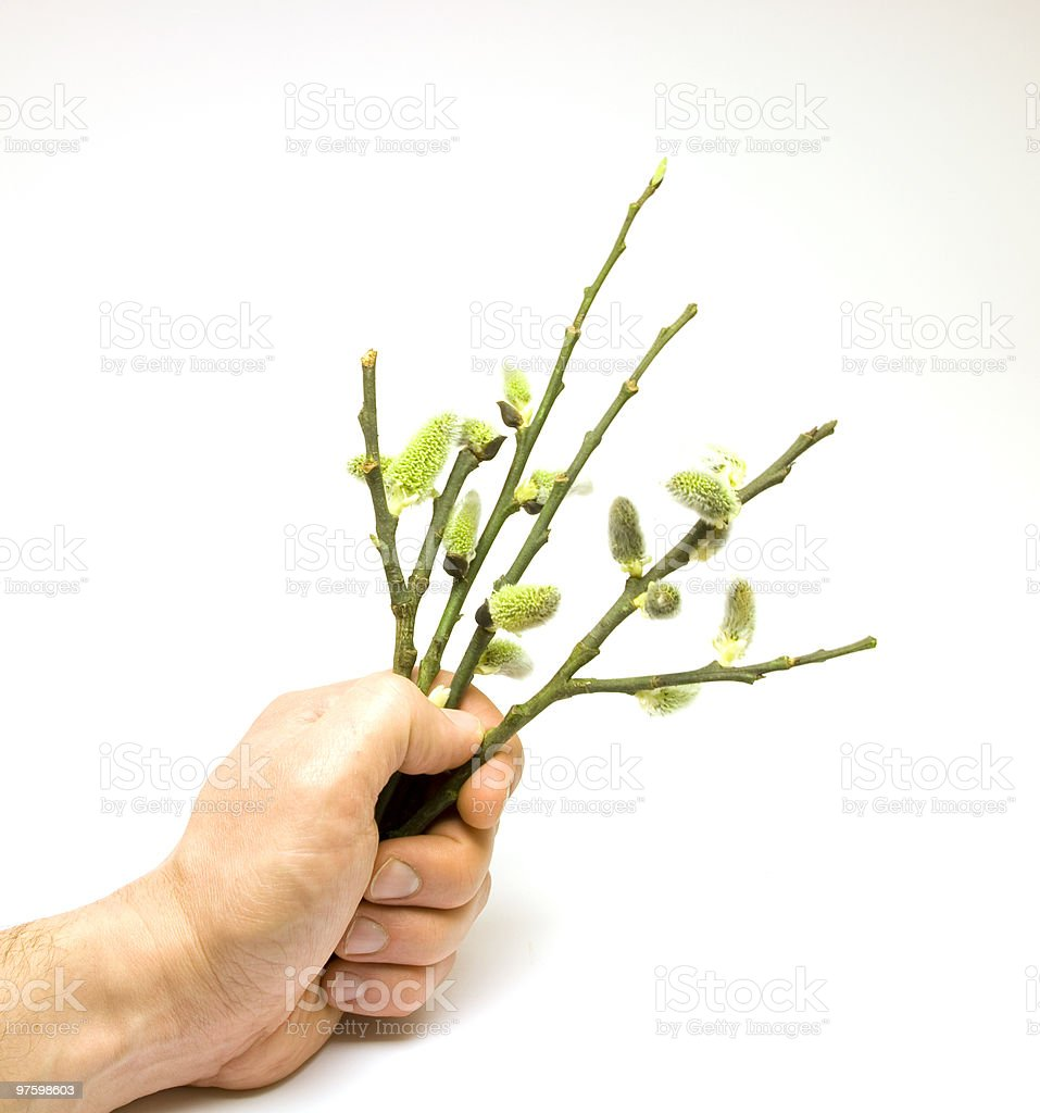 Fresh salix branch royalty-free stock photo