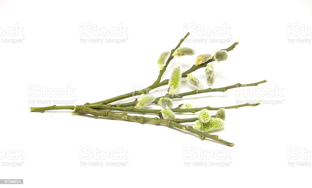 Fresh salix branches royalty-free stock photo