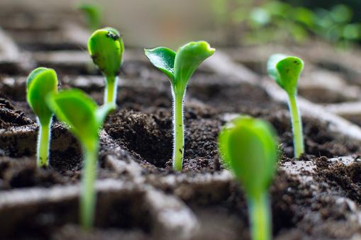 Fresh seedlings of marrow (zucchini )