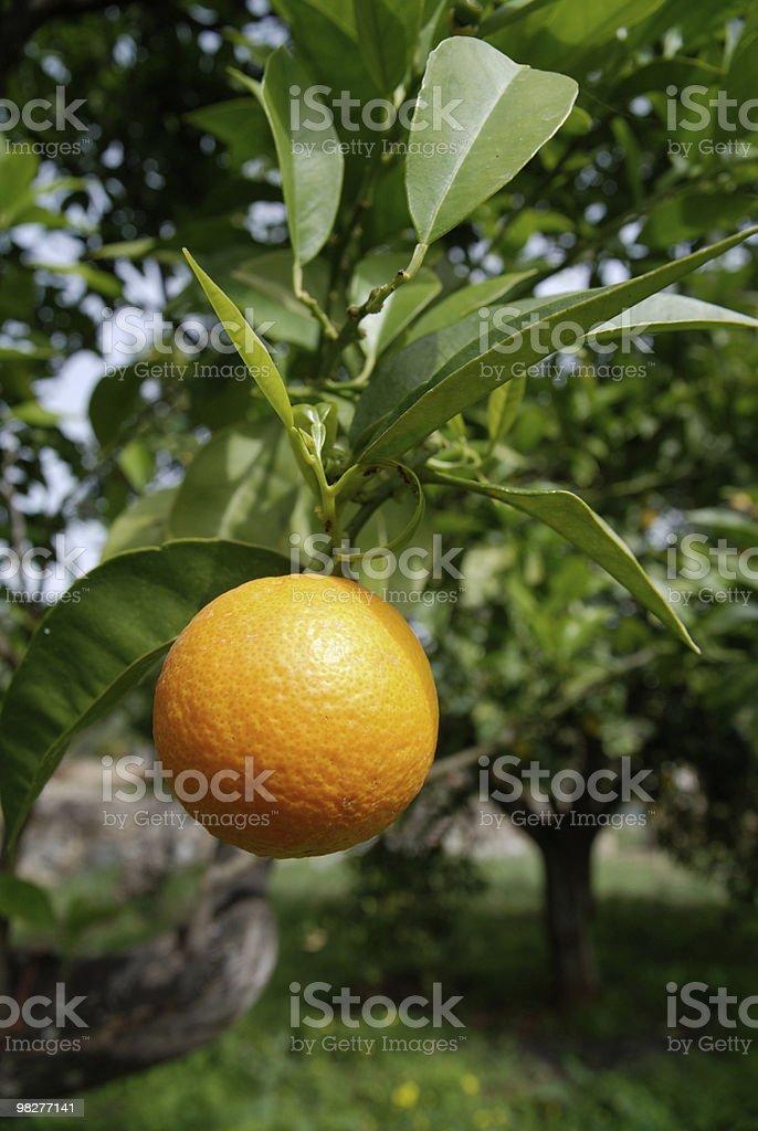 Fresca arancio con singolo albero foto stock royalty-free