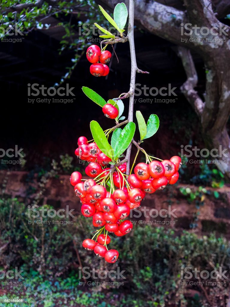 Fresh Small red royalty-free stock photo