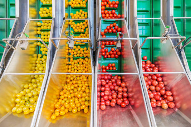 Fresh small tomatoes on a green conveyor belt in a Dutch greenhouse stock photo