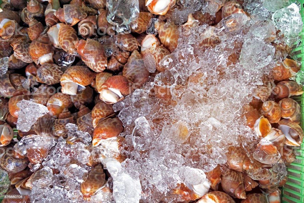 Fresco areolata caracol Babilônia para venda dentro de um cesto coberto com gelo exposição no mercado de marisco local pronto para cozinhar em Phuket Tailândia - foto de acervo