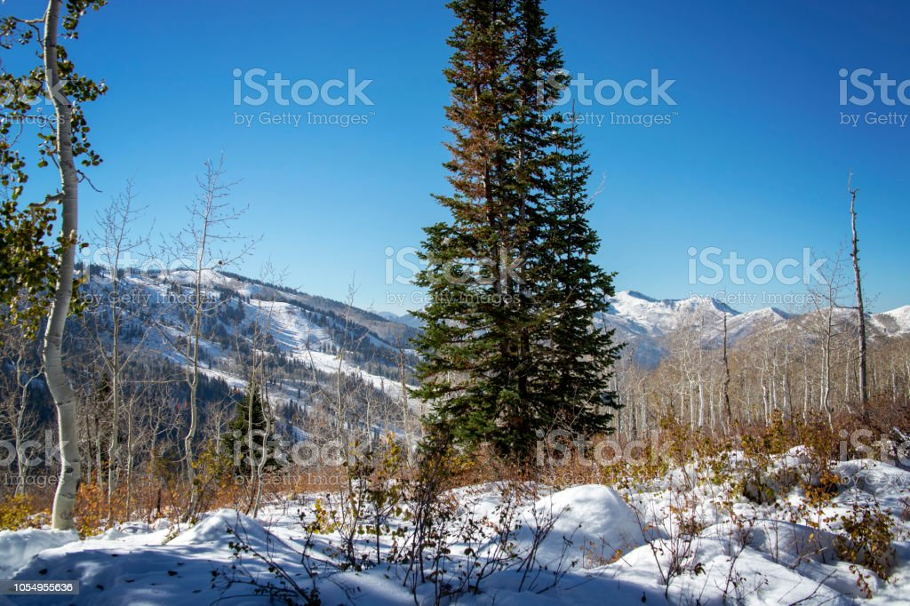 Fresh Snow on the Mountain in the Aspen Forest stock photo