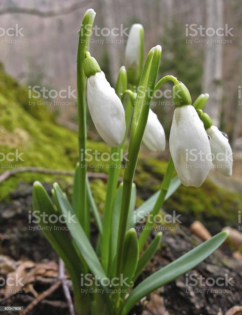 Fresh snowdrops stock photo