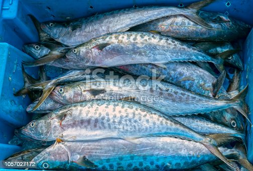 635931692istockphoto Fresh Spanish mackerel fish caught in the fish market. This fish species live in the waters of the central and south east of Vietnam 1057027172