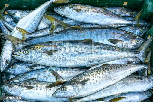 635931692istockphoto Fresh Spanish mackerel fish caught in the fish market. This fish species live in the waters of the central and south east of Vietnam 1057027190