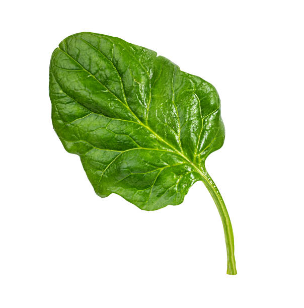 fresh spinach isolated stock photo