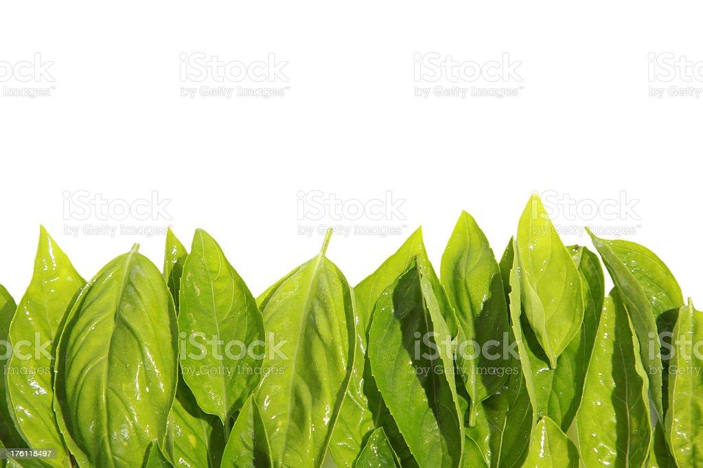 Fresh sprig of basil isolated on white background royalty-free stock photo