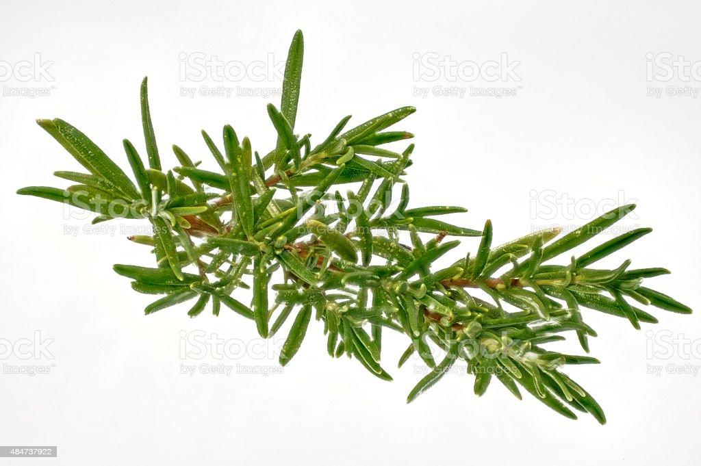 fresh sprig of rosemary on white stock photo