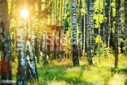 istock Fresh Spring Birch Forest - Sun Shining Between Trees 174831985