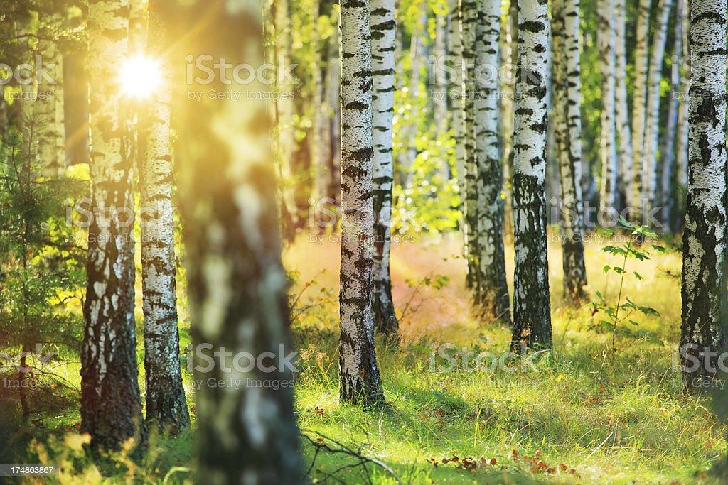 Frische Frühlings-Birke Wald und Sonne scheint zwischen Bäumen Lizenzfreies stock-foto