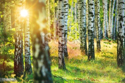 istock Fresh Spring Birch Forest - Sun Shining Between Trees 174863867