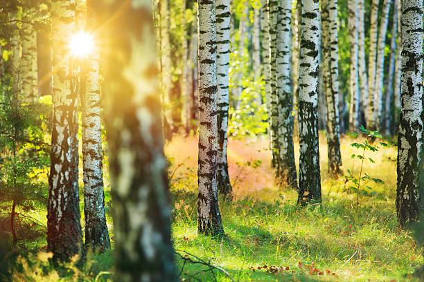 Fresh Spring Birch Forest - Sun Shining Between Trees stock photo