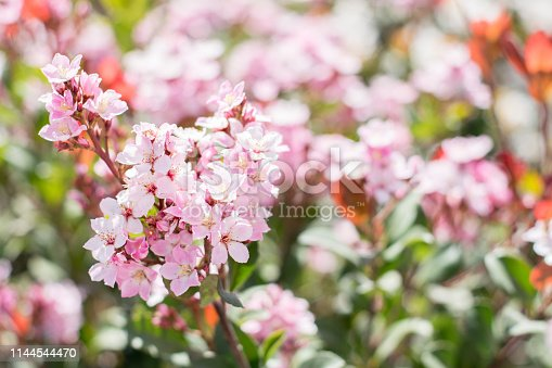 istock Fresh Spring blossom pink  flower in the meadow 1144544470