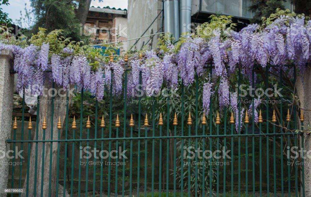 Frisse Lentebloemen over een hek - Royalty-free Achtergrond - Thema Stockfoto