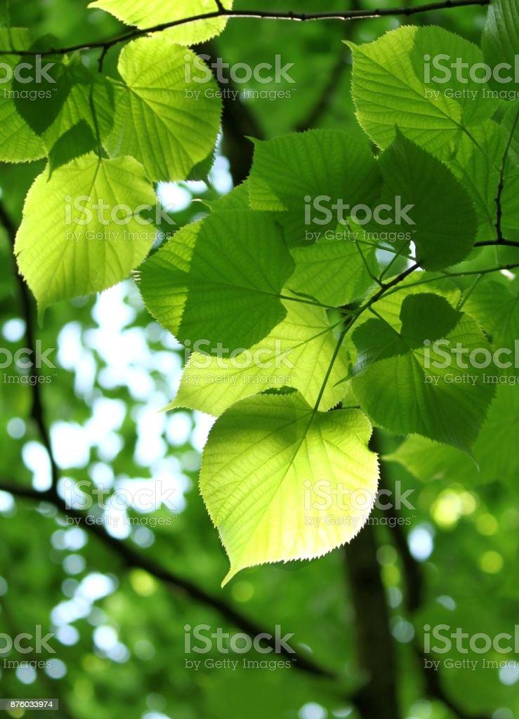 fresh spring foliage of linden tree stock photo