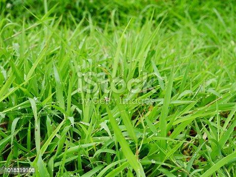672372726istockphoto Fresh spring grass 1018319108