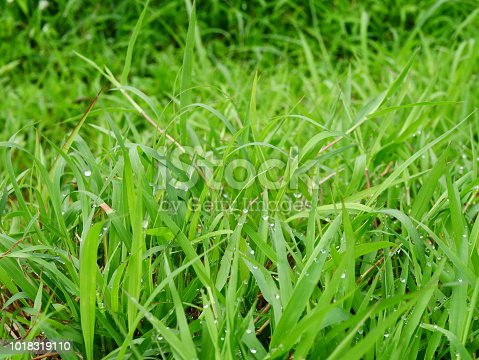 672372726istockphoto Fresh spring grass 1018319110