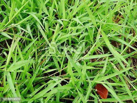 672372726istockphoto Fresh spring grass 1018319370