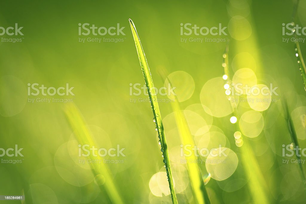 Fresh spring grass with water drops royalty-free stock photo