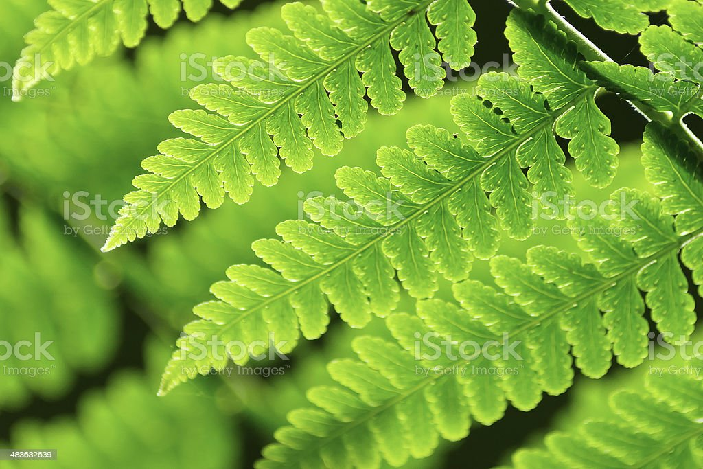 Fresh spring green fern leaves royalty-free stock photo