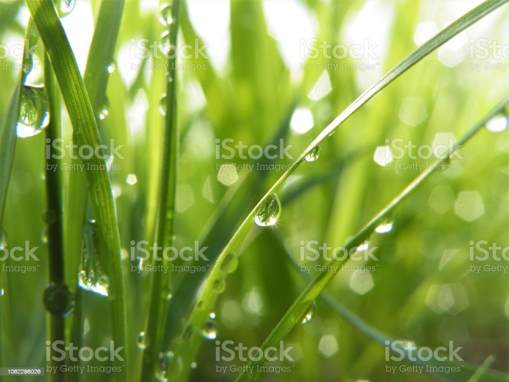 Fresh Spring Green grasses green bacground with water drops stock photo