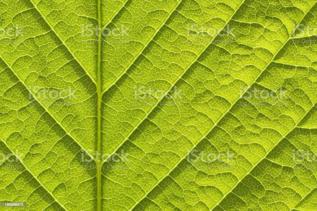 Fresh spring leaf royalty-free stock photo