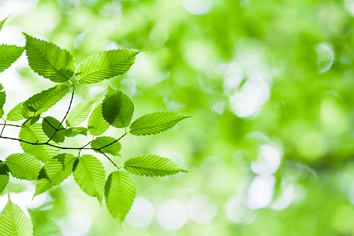 close up of fresh spring leaves with sunlight