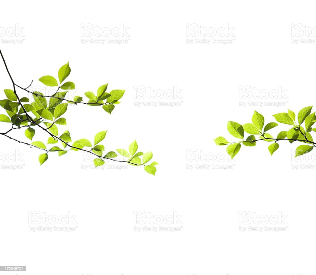 Fresh Spring Leaves on White stock photo