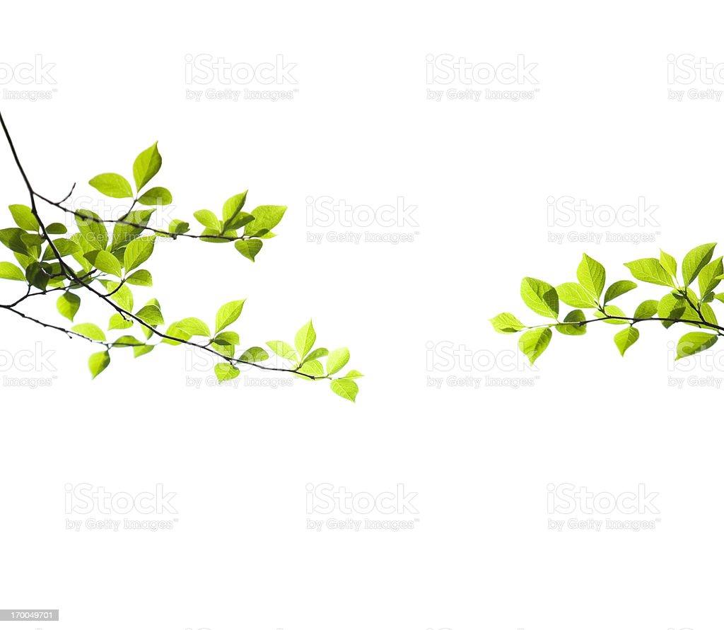 Fresh Spring Leaves on White stock photo