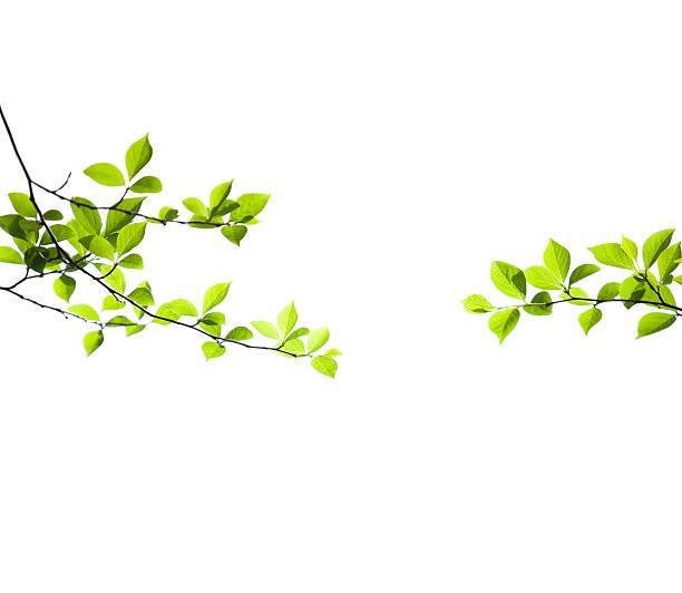 新鮮な春の葉 - 枝 ストックフォトと画像