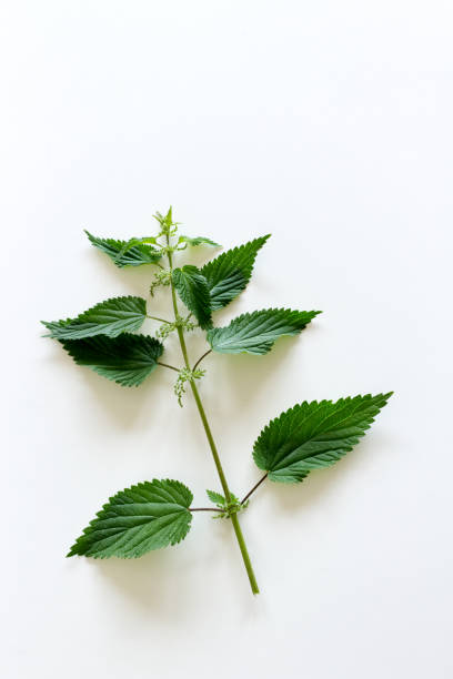 Fresh spring nettle on a white table. Suitable for salad, tea or use in cosmetics. Alternative medicine, healthy herb.Many species have stinging hairs Fresh spring nettle on a white table. Suitable for salad, tea or use in cosmetics. Alternative medicine, healthy herb,many species have stinging hairs stinging nettle stock pictures, royalty-free photos & images
