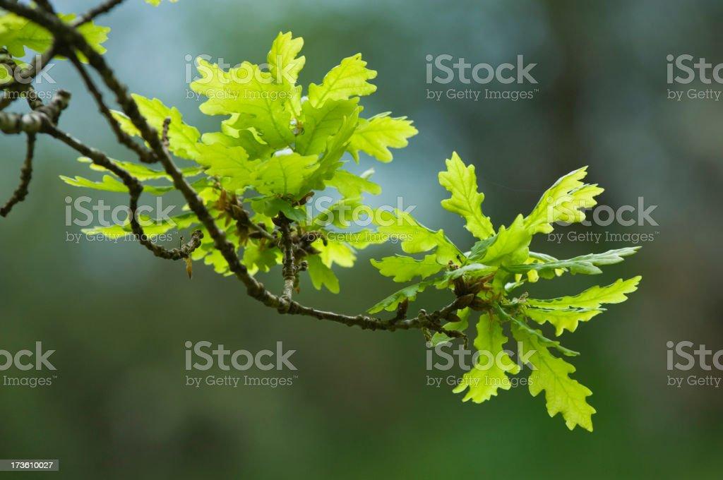 Fresh spring oak leaves royalty-free stock photo