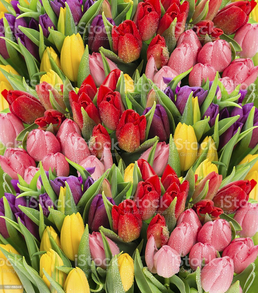 fresh spring tulip flowers with water drops royalty-free stock photo