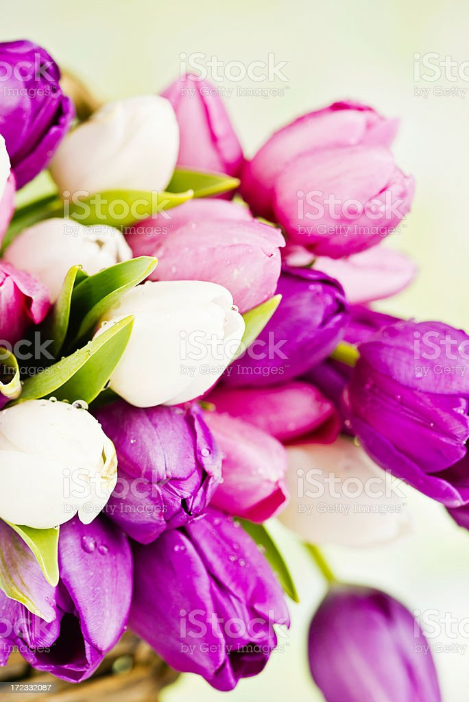 Fresh Spring Tulips royalty-free stock photo