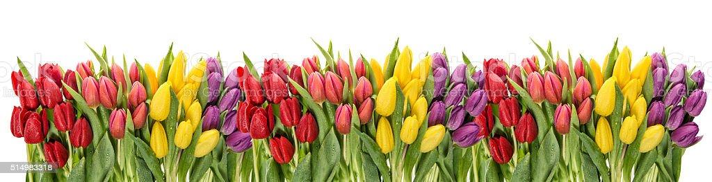 Fresh spring tulips water drops. Flower border stock photo