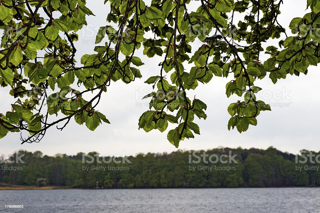 Fresh springtime beech leaves royalty-free stock photo