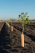 Almond trees get their start in the rich fertile soil of Coyote Valley