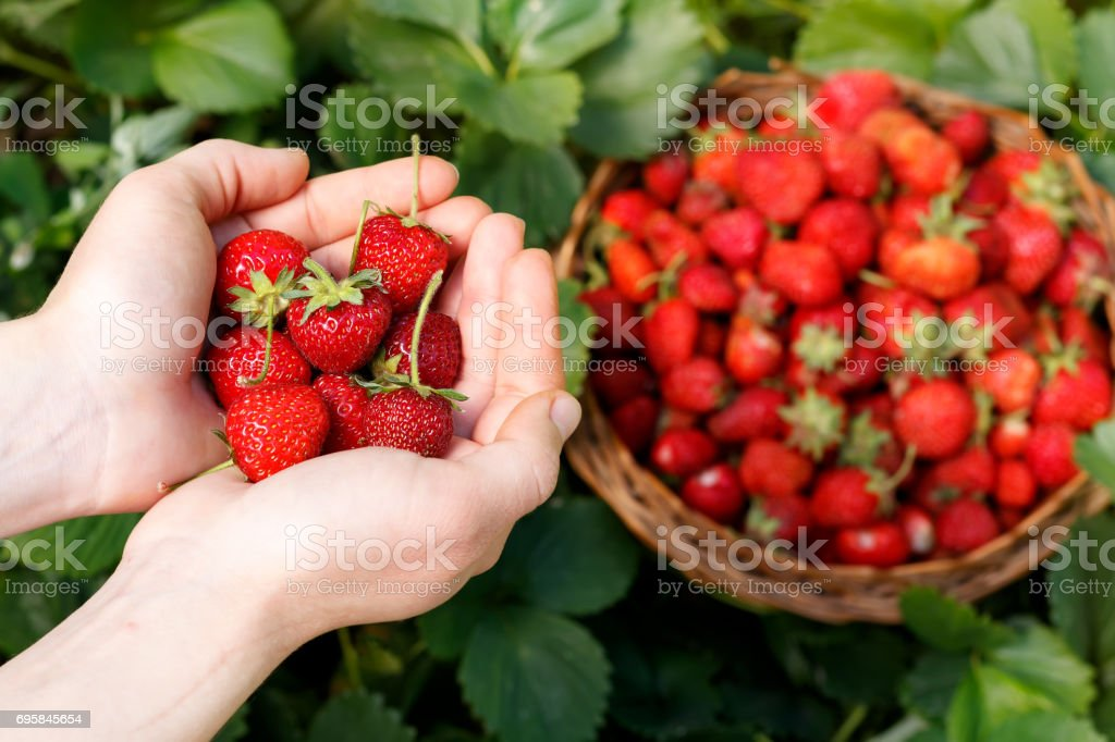Fresh strawberries closeup. Girl holding strawberry in hands on background basket with berries stock photo