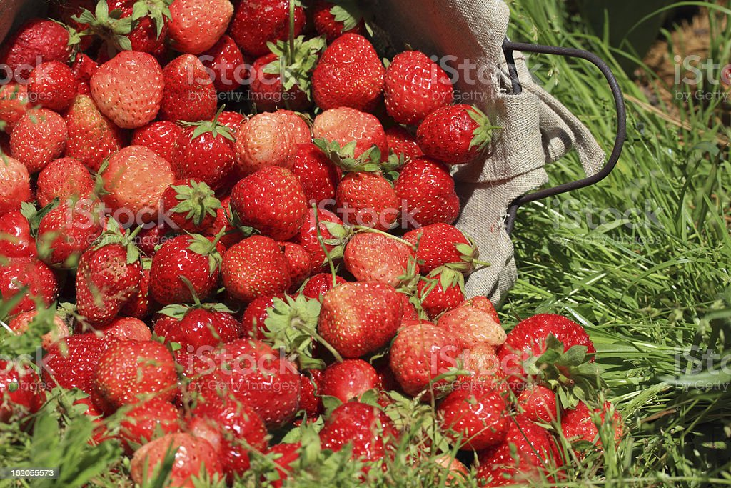 fresh, strawberries in a basket royalty-free stock photo