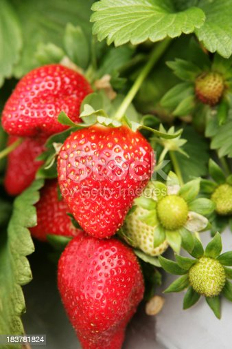 Fresh, ripe strawberries, still on the bush.