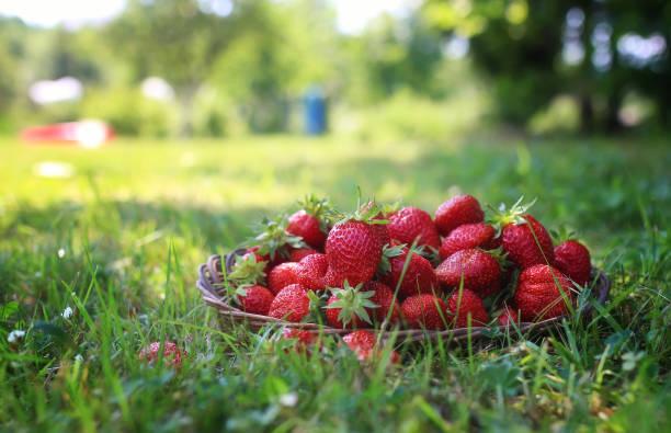 färsk jordgubbe utomhus - summer sweden bildbanksfoton och bilder